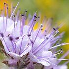 Lacy Phacelia Flower von Mariola Szeliga