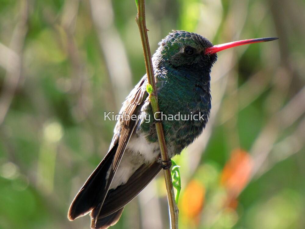 Broad-billed Hummingbird ~ Male by Kimberly Chadwick