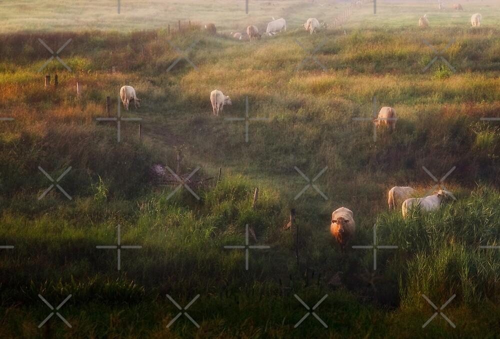 The cows by Mel Brackstone
