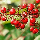 Red baneberries by Sangeeta