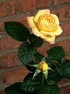 Yellow Rose 1 by Stephen D. Miller