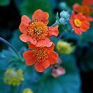 Orange Poppy by ciriva