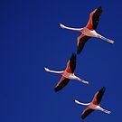 Andean Flamingo. by Francisco Larrea