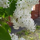 White Lilac final stage 5 by Barry Norton
