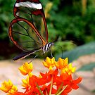 GLASSWING BUTTERFLY FEEDING ON NECTAR by Johan  Nijenhuis