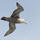 Southern Giant Petrel by Mark Prior