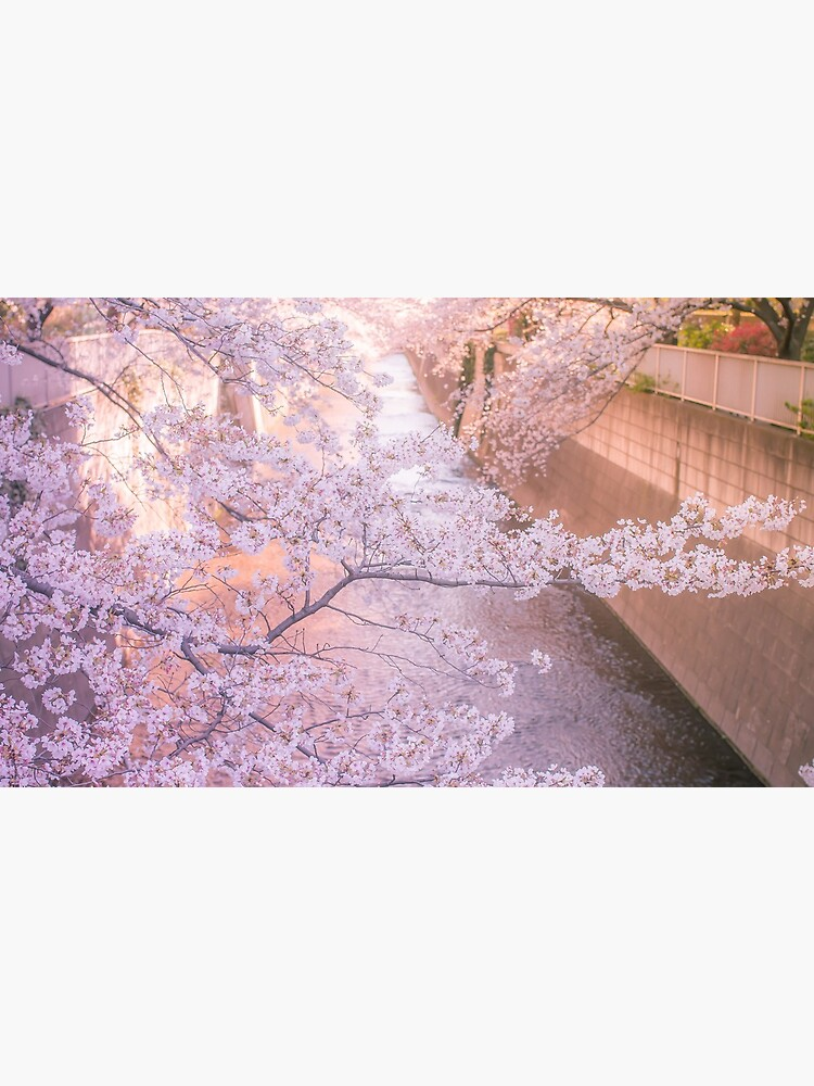 Sakura tree over Kanda Gawa river by TokyoLuv