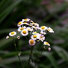 Panicled Aster - Aster lanceolatus by jules572