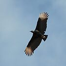 Black Vulture by Robert Abraham