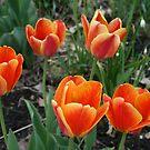 Lebhafte bunte bunte Tulpen von kkphoto1