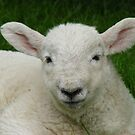 sleepy sheep - as white as cotton wool! by monkeyferret