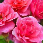 Rose 365 von secretgardener