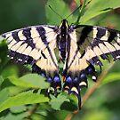 Common Yellow Swallowtail by Deborah  Benoit