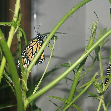 Monarch Butterfly and Caterpillar by junglequeen