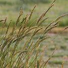 Prairie Grass by Barb Miller