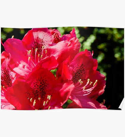 Rhododendron detail Poster