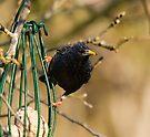 Starling by Nigel Bangert