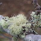 Moss on a pear tree by michellerena