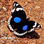 BLUE PANSY - Junonia Oenone Oenone (Afrikanische Schmetterlingserie) von Magriet Meintjes
