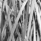 Reeds by Joan Wild
