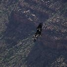 Grand Canyon - Vulture in Flight by redwave