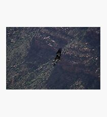 Grand Canyon - Vulture in Flight Photographic Print