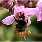 Geranium with Bee by hary60