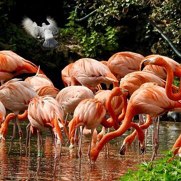 American Flamingoes  by martina