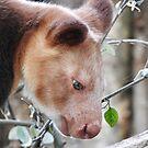 Goodfellow's Tree-Kangaroo in profile  by Martina Nicolls