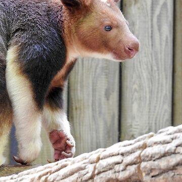 Goodfellow's Tree-Kangaroo  by martina