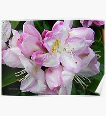 Pale Pink Rhododendron Poster