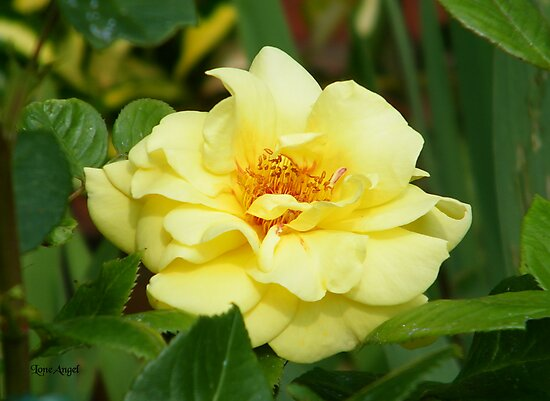 Yellow Sunshine Rose by LoneAngel