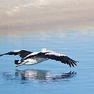 A pelican in flight by henleyhelen