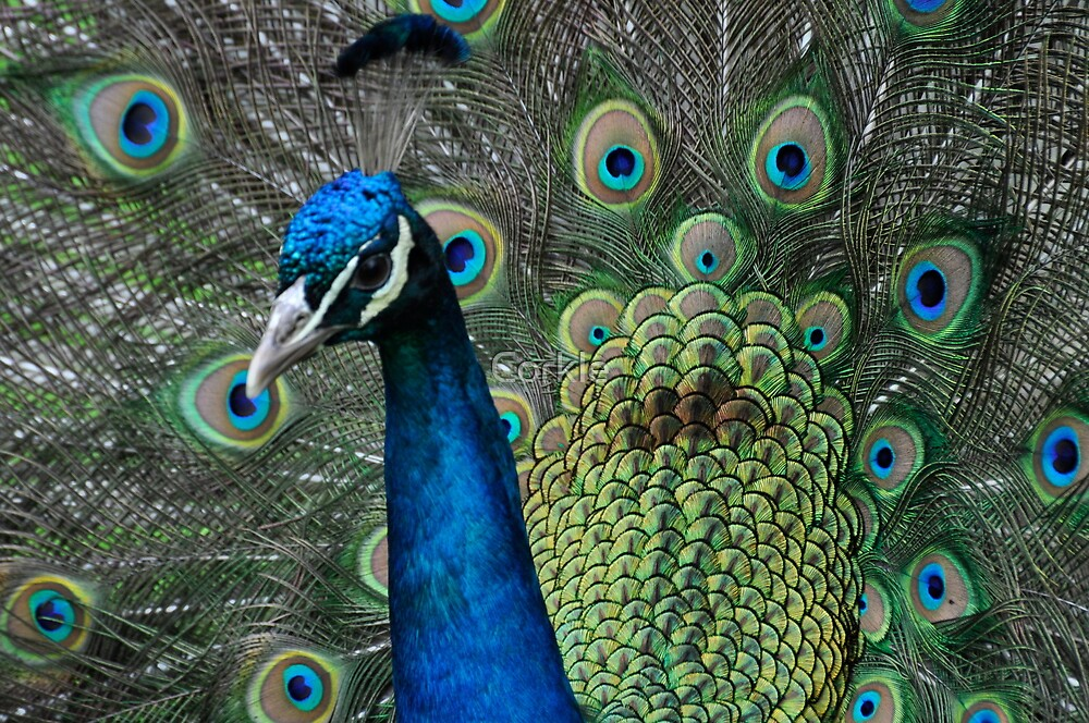 The Peacock by Corkle