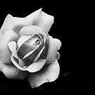 Rosa by Sangeeta