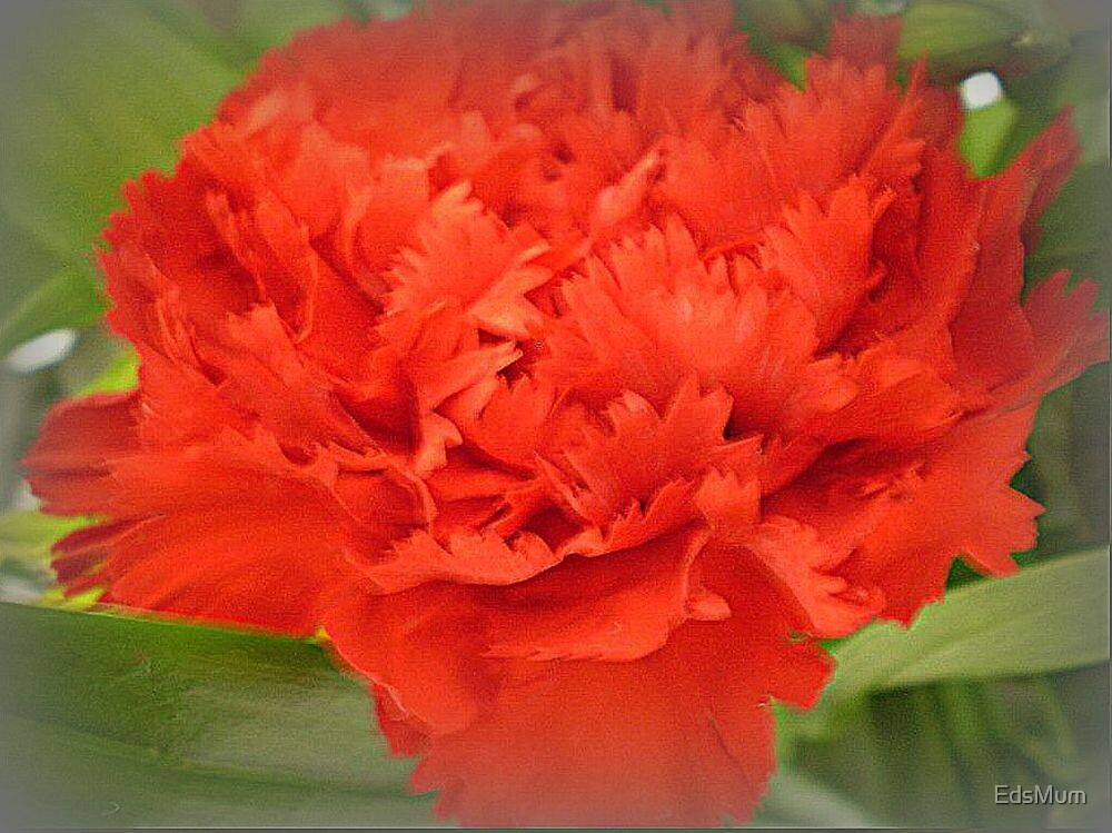 Carnation - Brilliant Red by EdsMum