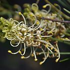 White Grevillea In King's Park by lezvee