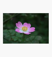 Clustered Wild Rose Photographic Print
