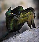 Preening Shag - Phalacrocorax aristotelis by David Lewins