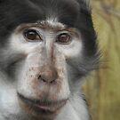 Sooty Mangabey Monkey by Martina Nicolls