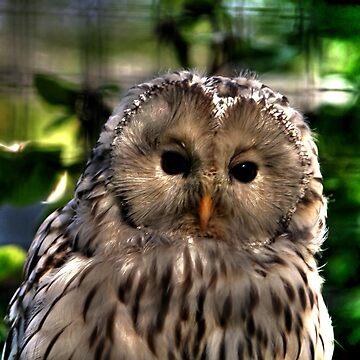 Ural Owl by umpa1