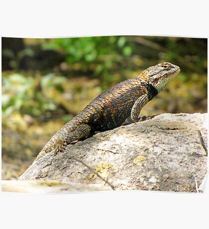 Desert Spiny Lizard ~ Male  Poster