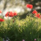 Ethereal Poppies by Debbie  Roberts