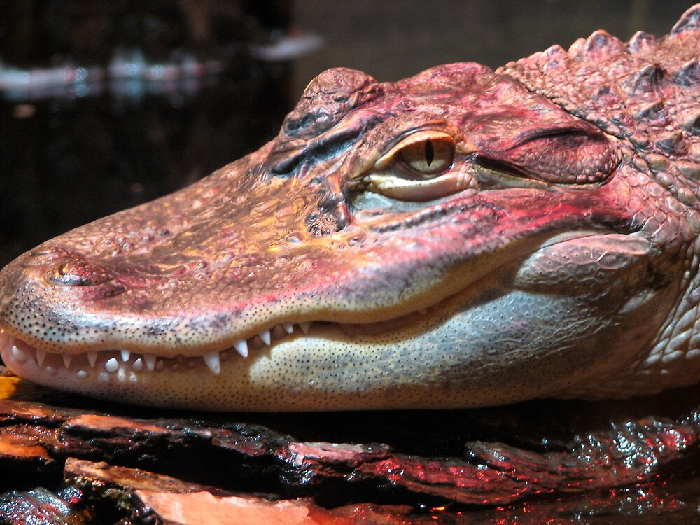 Red Gator by MaryGerken