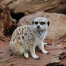 Meerkat by Michael Rowley