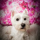 16 / 100 West Highland Terrier |  (60) Rose by Peggy Colclough