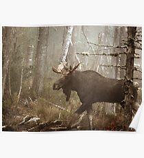 Maine Bull Moose During Mating Season... Poster