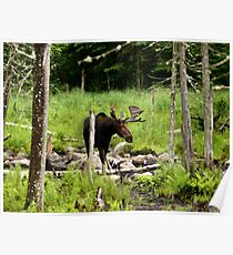 Bull Moose In Western Maine Poster