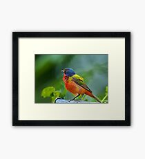 Mr. Painted Bunting makes his appearance Framed Print