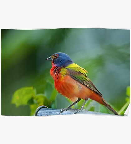 Mr. Painted Bunting makes his appearance Poster